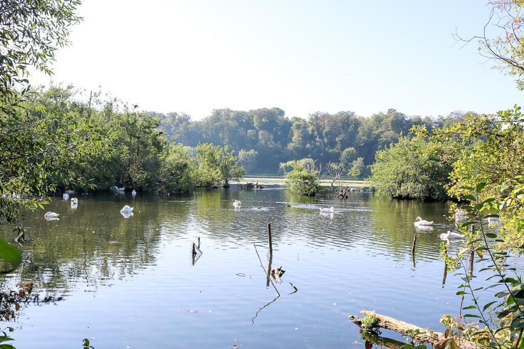 Schwäne auf dem Baldeneysee umgeben von grüner Natur