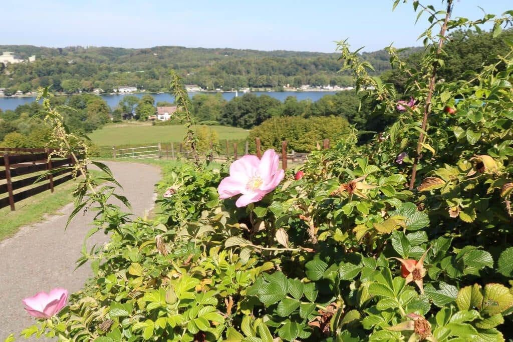 Rosenbusch im Vordergrund, dahinter Landschaft mit See
