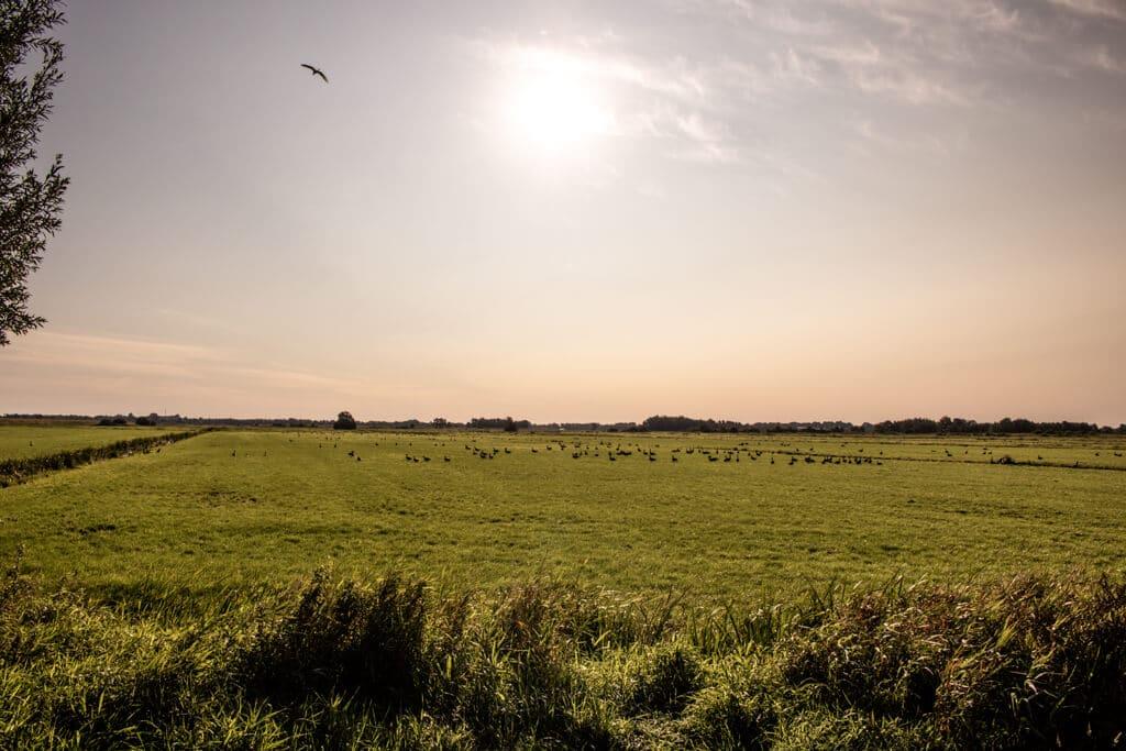 Wiese in der Morgensonne mit einigen Gänsen