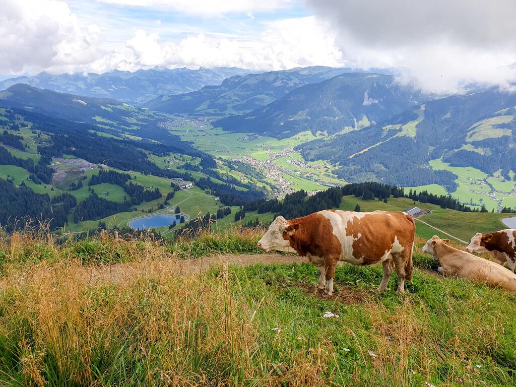 Kuh steht im Vordergrund auf einer Weide am Berg - dahinter Bergkulisse und ein Stausee