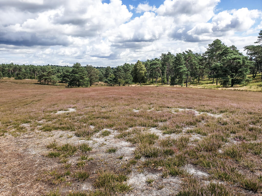 lila blühende Heide vor einem grünen Mischwald
