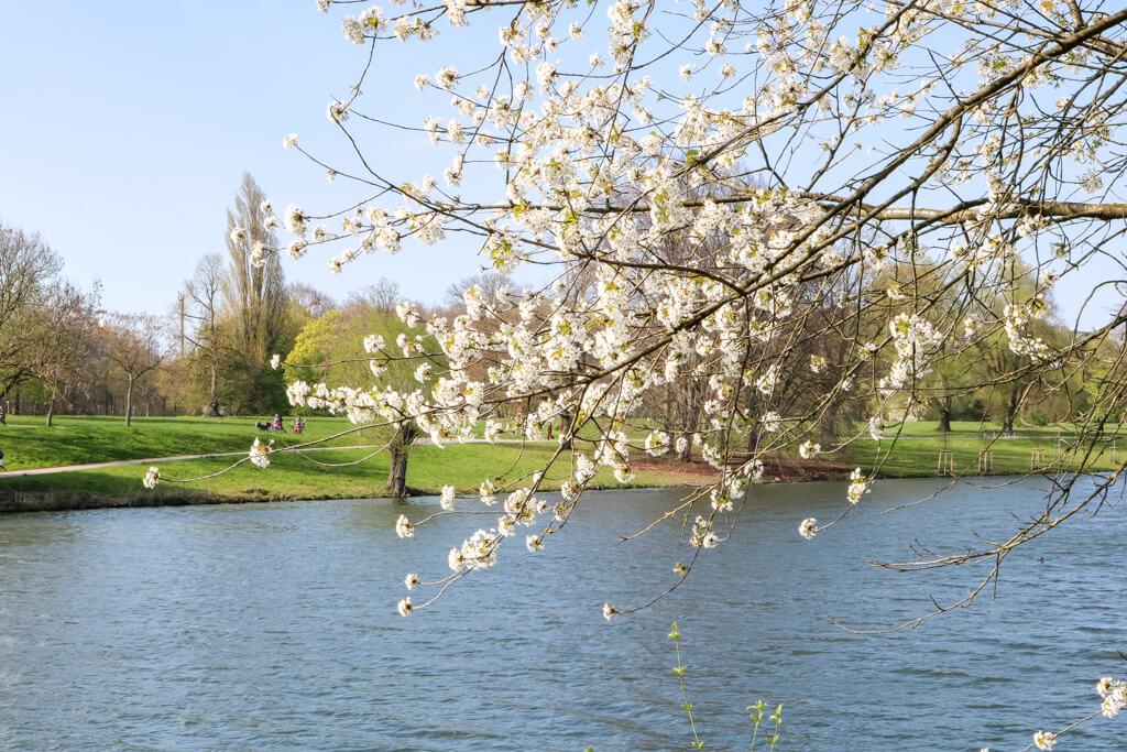 blühender Ast eines Baumes über dem Aasee in Münster