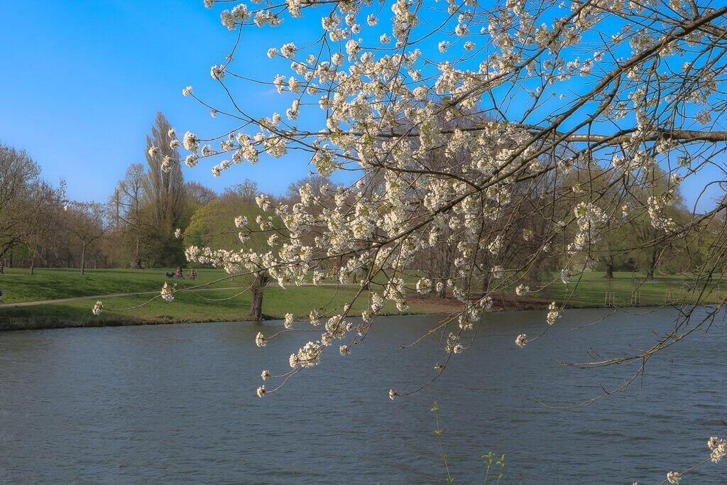 Münster - Aasee - blühender Baum am See