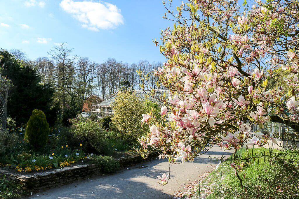 Münster - Botanischer Garten - blühender Baum