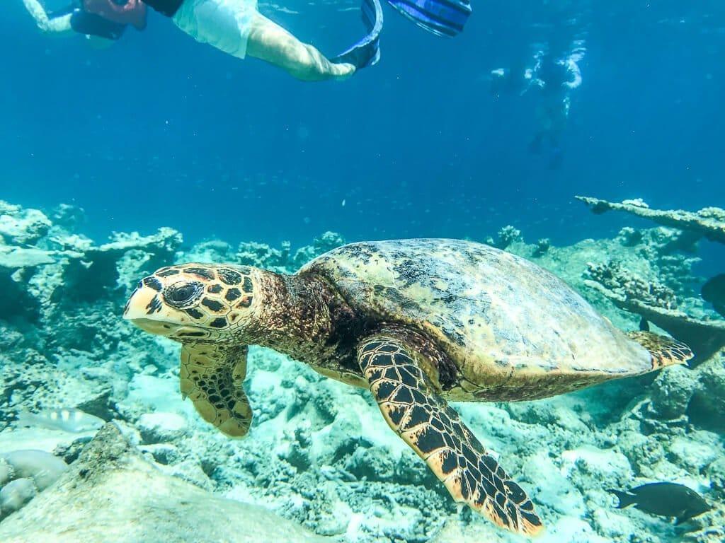 Malediven - Schnorcheln - Schildkröte