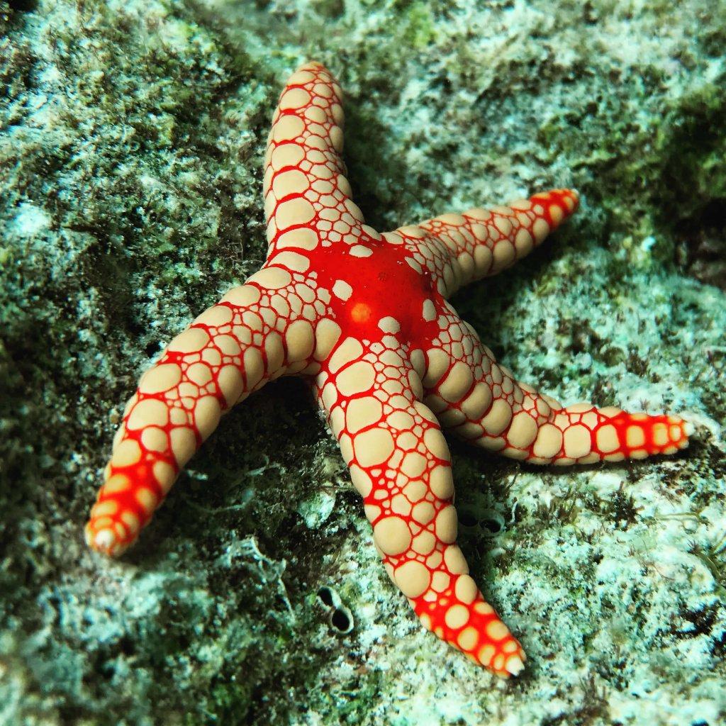 Malediven - Seestern