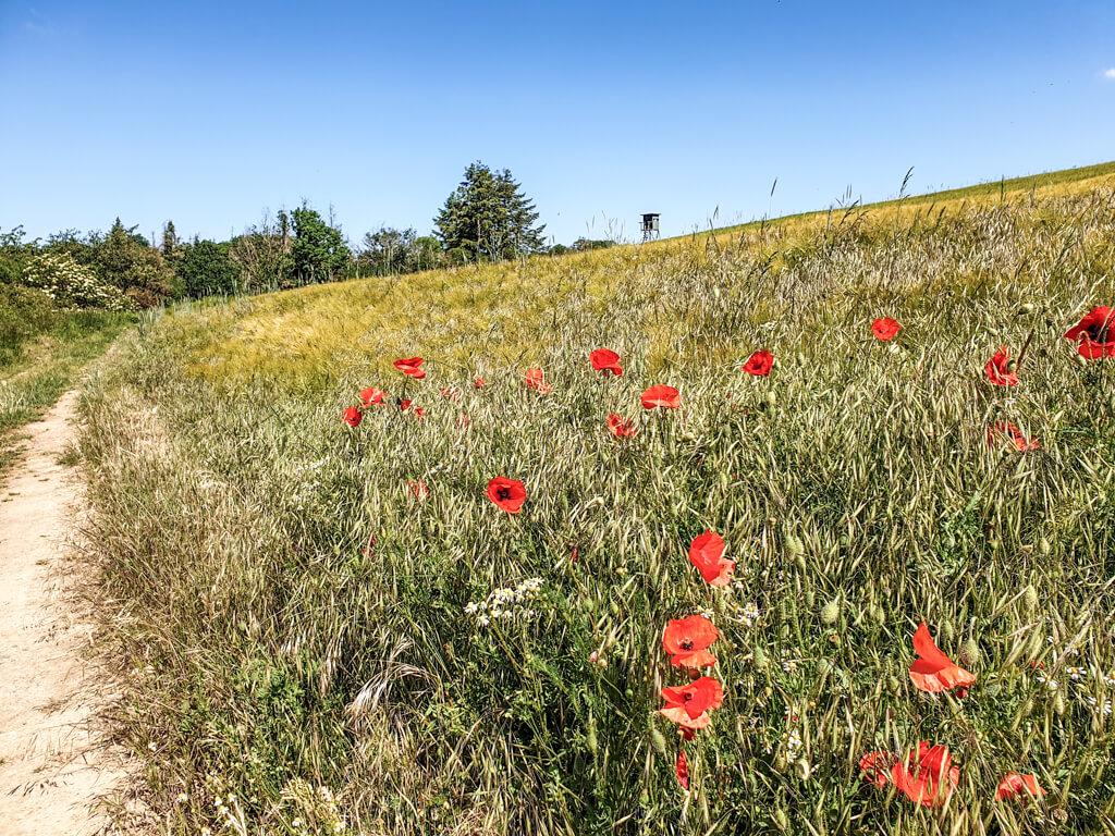 entlang eines Feldweges blühen rote Mohnblumen auf einer Wiese