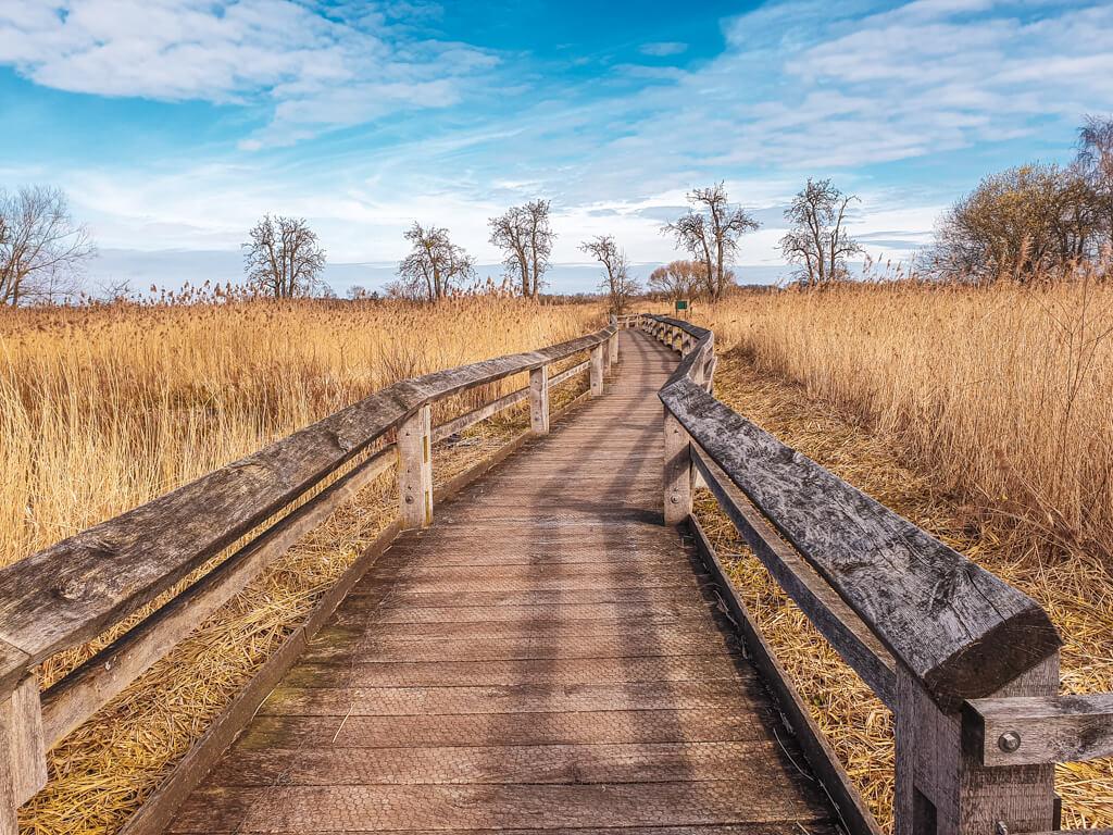 Rieselfelder Münster - Schilf-Lehrpfad: Holzsteg mit Geländer führt zwischen gelbem Schilf entlang. Am Horizont einige kahle Bäume und blauer Himmel mit kleinen Wolken