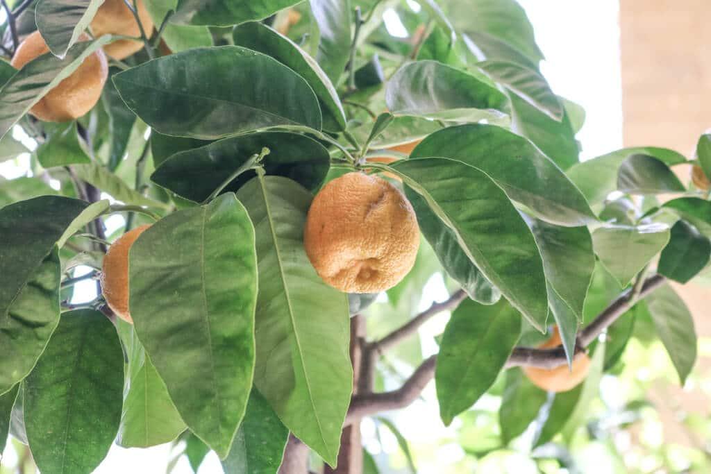 Nahansicht eines Zitronenbaumes mit Blättern und einigen Zitronen