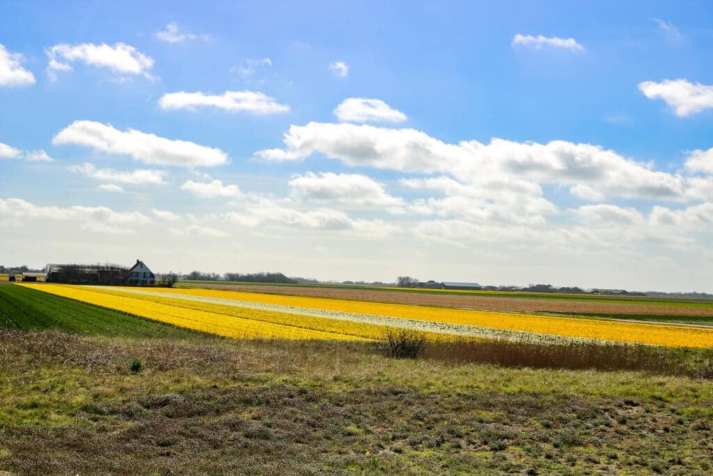 gelb blühende Blumenfelder und leicht bewölkter, blauer Himmel auf Texel