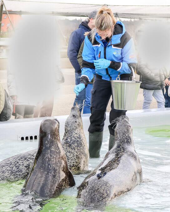 Texel - Ecomare - Seehunde bei der Fütterung