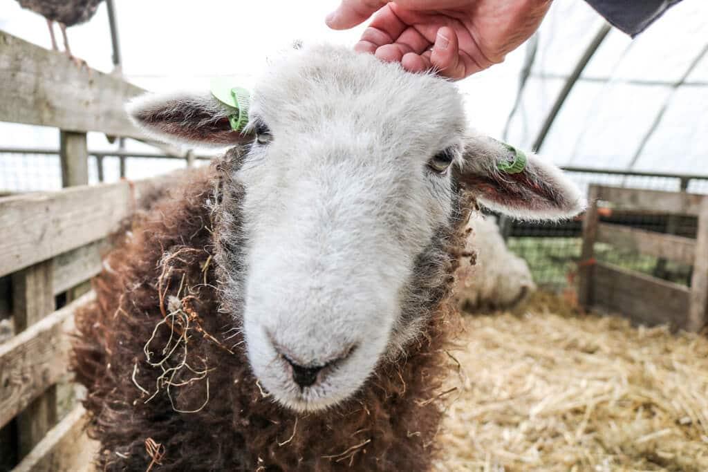 Nahaufnahme eines Schafs mit weißem Kopf und dunklerem Fell