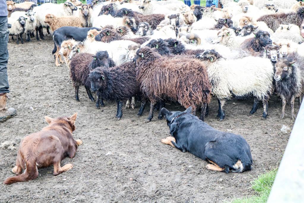 zwei Hunde hüten eine Herde Schafe