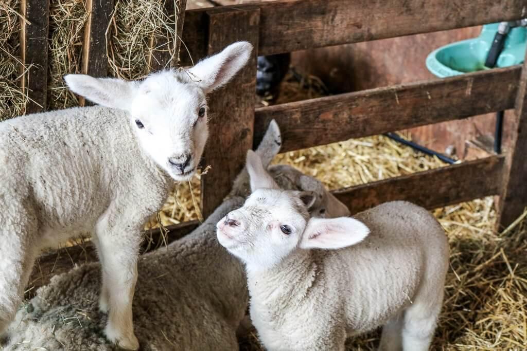 Texel - Schafe / Lämmer