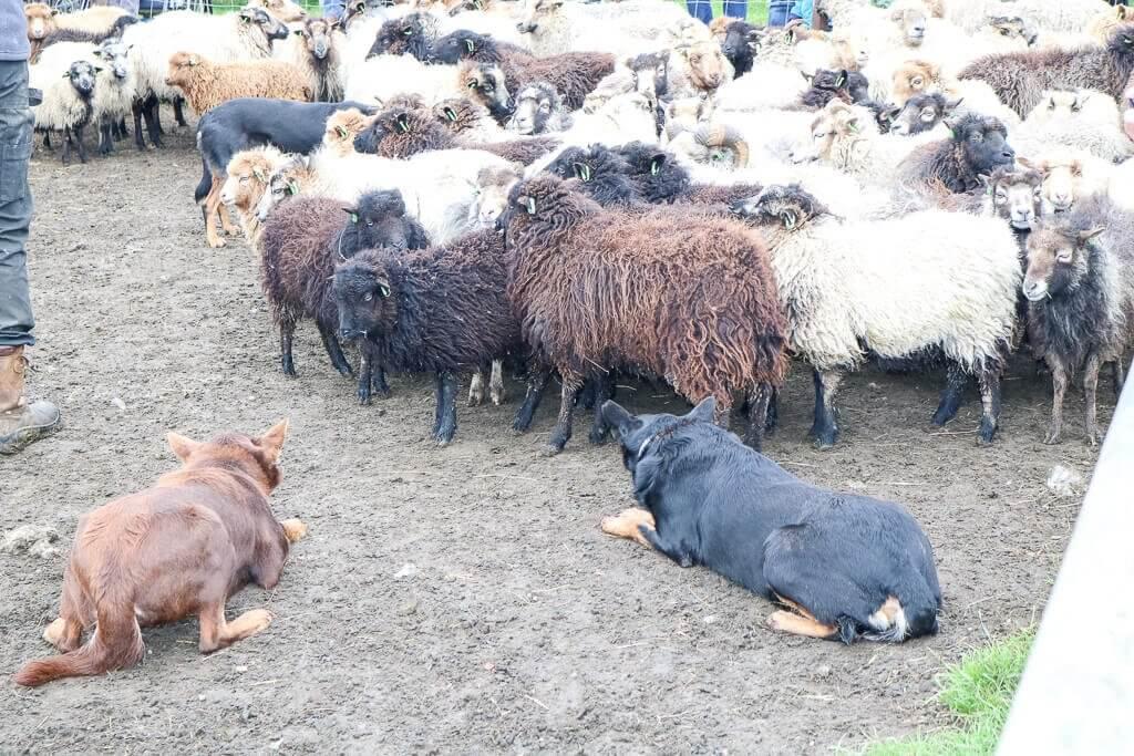 Texel - Traditionelles Schafe hüten
