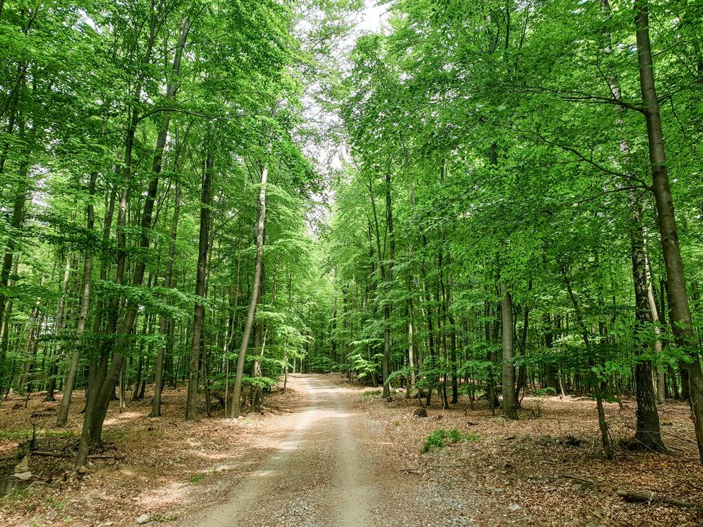 Weg führt durch einen lichten, grünen Wald