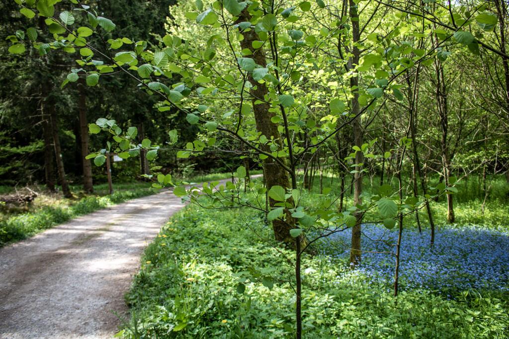 Waldweg der Sauerland-Waldroute verläuft an blau blühenden Blumen vorbei
