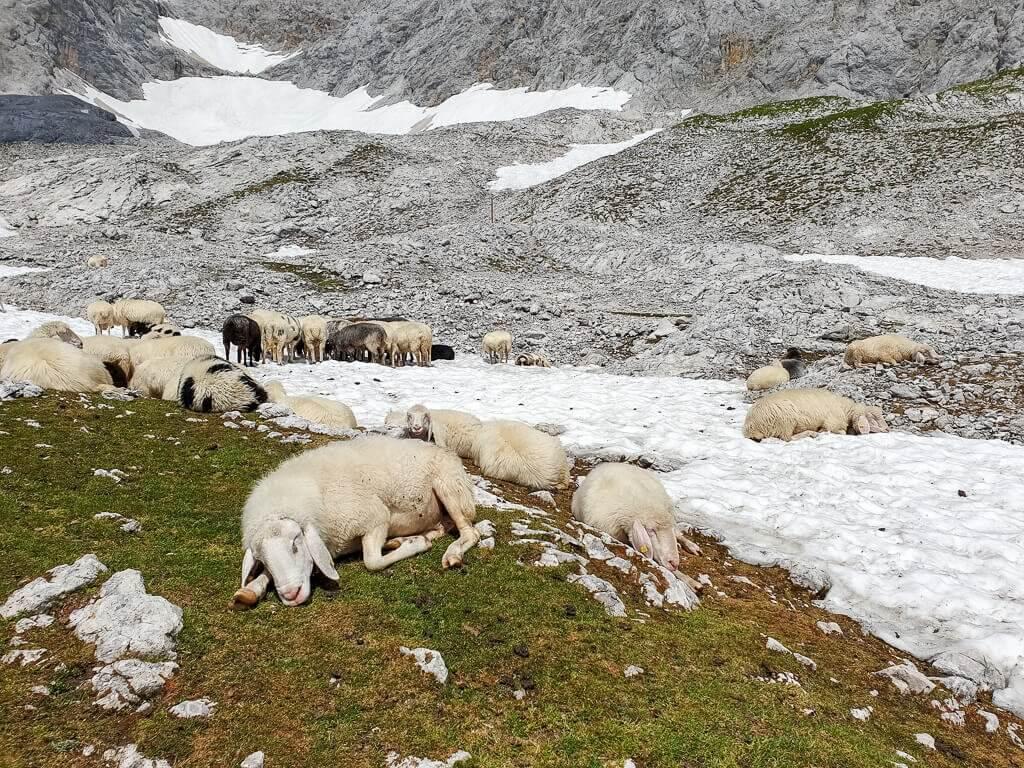Schafe auf einem Schneefeld am Berg